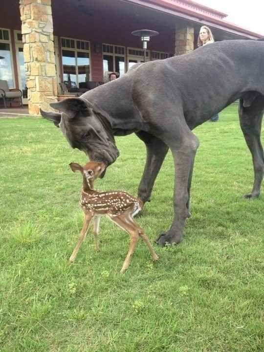 Un dogue allemand ami avec un faon.