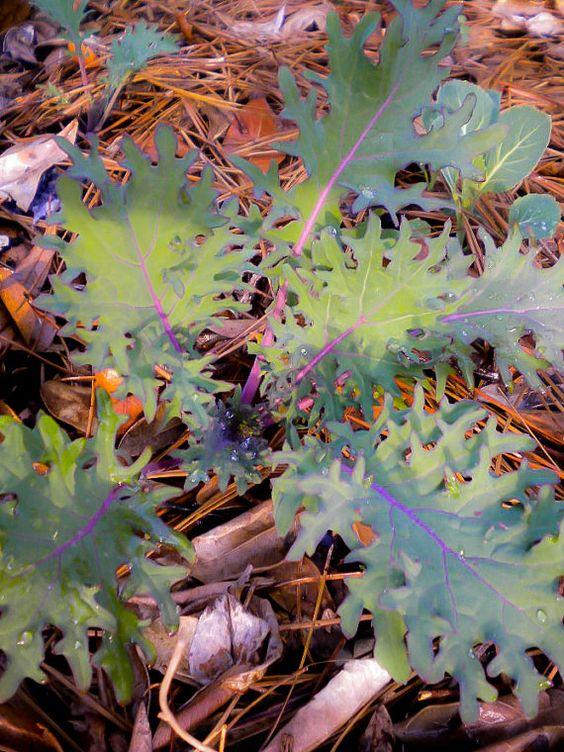 yum!   Organic Red Russian Kale Seeds by MoonlightMicroFarm on Etsy, $2.50