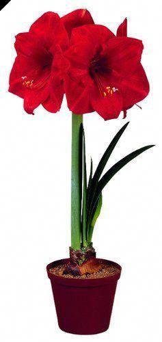 Ranunculus Dictionary Pronunciation Ranunculus Amaryllis Flowers Amaryllis Urban Garden