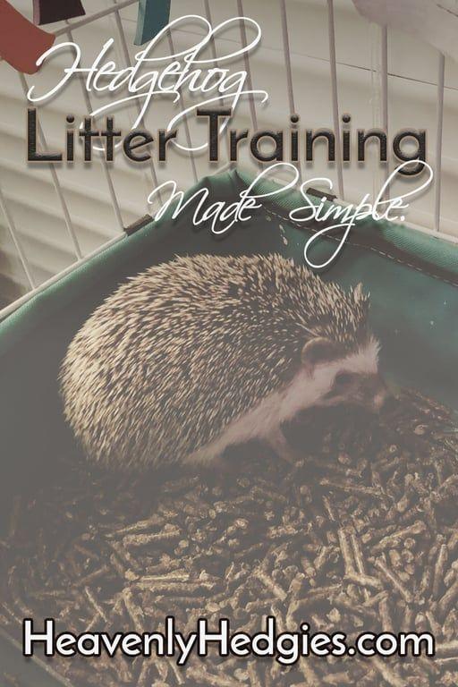How To Litter Train A Hedgehog Hedgehog Care Hedgehog Pet