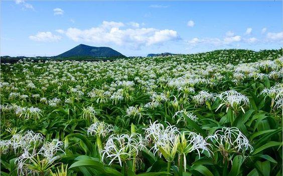 Mùa hoa Crium nở rộ trên Đảo thỏ