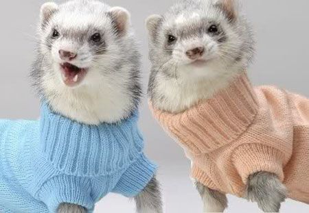 Ferrets wearing sweaters