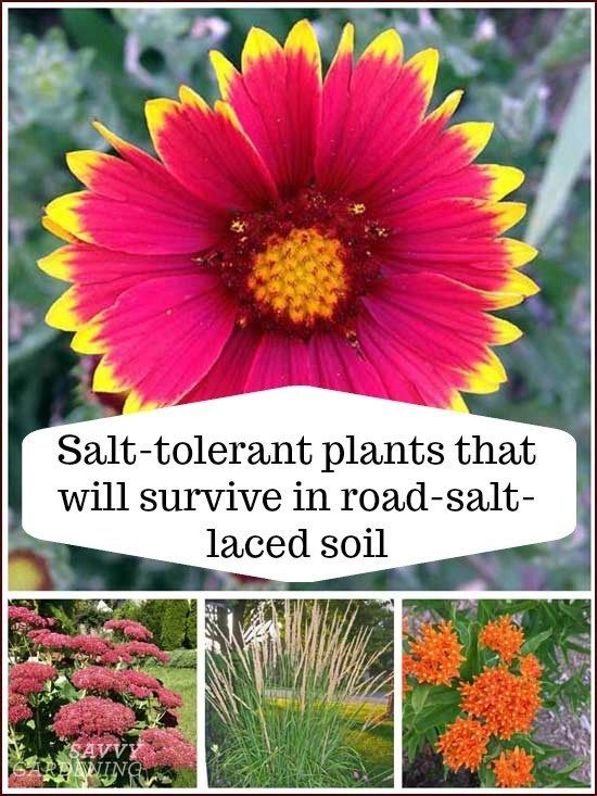 Salt Tolerant Plants That Will Survive In Road Salt Laced Soil Garden Soil Plants Garden Pests