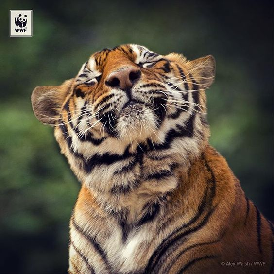 This weekend we've reached 15,000 followers on #Instagram   We want to say a HUGE thank you to all of our supporters - on Instagram, Twitter, Facebook and in person, all around the world!  Let's keep ROARING for #tigers and #Tx2; the inspiring goal to double wild #tiger numbers! → Click the link in our bio to find out more about  x  #doubletigers