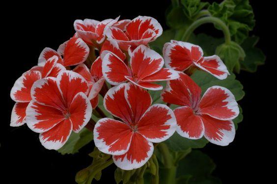 "Love Pelargonium ""Mr. Wren""."