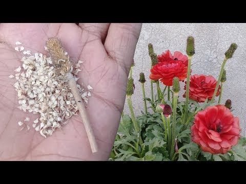 How To Collect Ranunculus Seeds Persian Buttercup Ranunculus Asiaticus Youtube Not In English Ranunculus Asiaticus Persian Buttercup Ranunculus