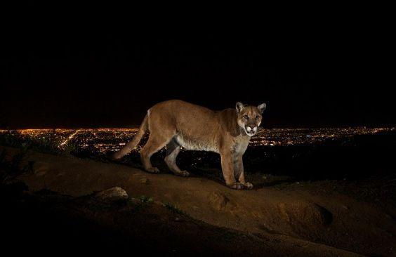 """""""LA Cougar"""" by Steve Winter"""