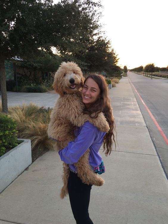 Goldendoodles give the best hugs