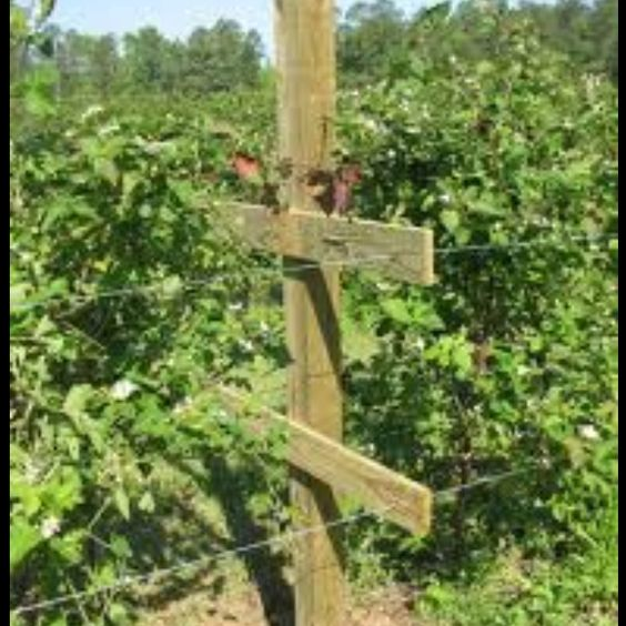 Berry Arbors: Trellis And Blackberries On Pinterest