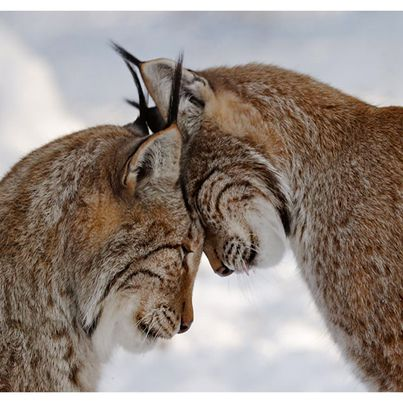 Lynxes... Lynxi... Linux? What is more than one lynx?