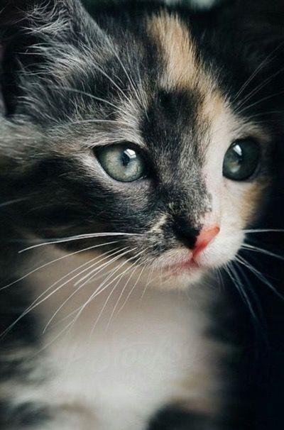 Stunning calico kitten…