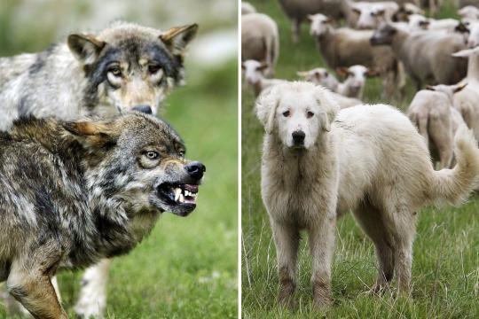 Der Pyrenäenberghund (r.) entwickelt eine enge Bindung zur Schafsherde und verteidigt diese im Notfall auch gegen Wölfe (l.)
