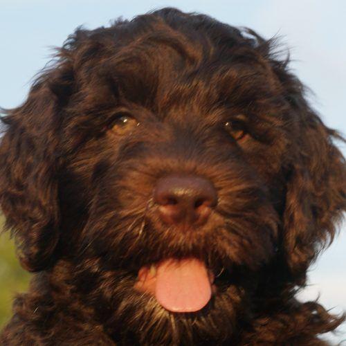 Meet Crew Australian Labradoodle Puppies For Sale In Austin
