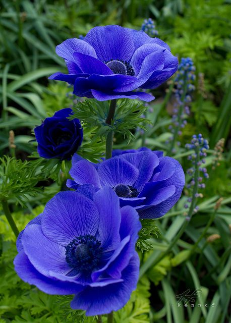 ~~Feel the blues ~ Anemones by Kenn.CF~~: