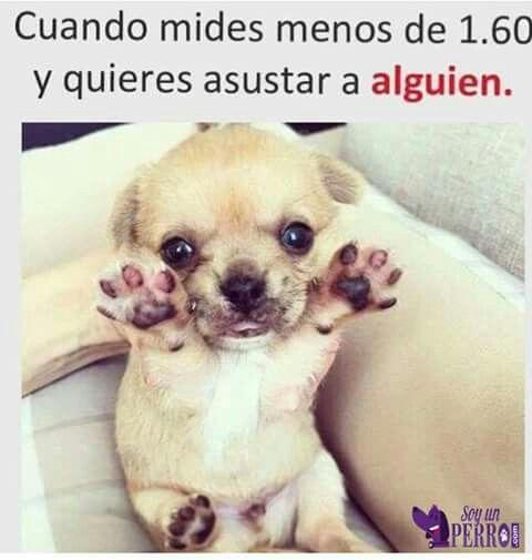 Pin De Saray Liberato En De Gatos Perros Y Otras Mascotas Chistes De Animales Memes Divertidos Tipos De Chihuahuas