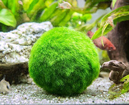 Giant Marimo Moss Balls Great For Live Fish Shrimp And Snails Marimo Moss Ball Marimo Moss Moss