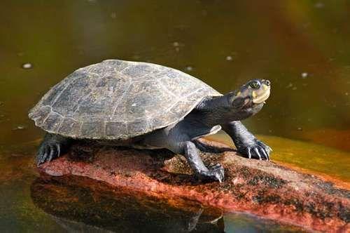 Turtle Turtle Turtle Reptile Amazon River Animals