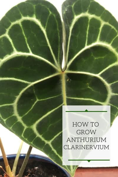 Anthurium Clarinervium 1 Secret To Growing Them In 2020 Anthurium Plant Care Houseplant Anthurium Plant