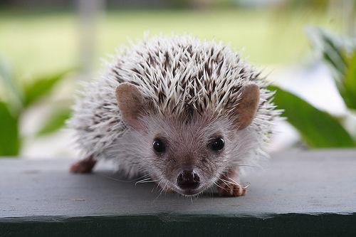 Hedgehog Close Up (via http://www.wuestenigel.com/2011/08/05/hedgehog-closeup/)