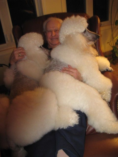 Poodle love............Looks like my Dad with Gracie on his lap just a smaller scale!
