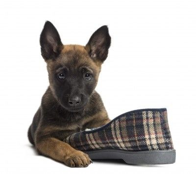How to Prevent Destructive Puppy Chewing http://www.judethepuppynanny.com/puppy-training-tips/how-to-prevent-destructive-puppy-chewing/?utm_campaign=coschedule&utm_source=pinterest&utm_medium=Jude%20LeMoine%20(Puppy%20Nanny%20Tips)&utm_content=How%20to%20Prevent%20Destructive%20Puppy%20Chewing