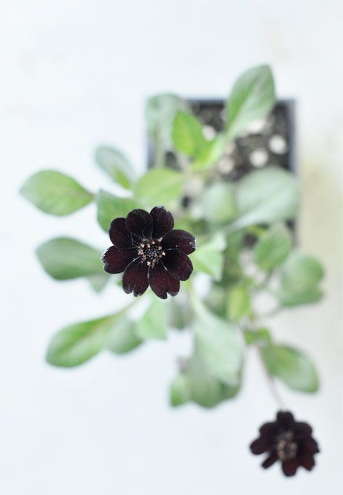 *photography, details, flowers,chocolate cosmos*