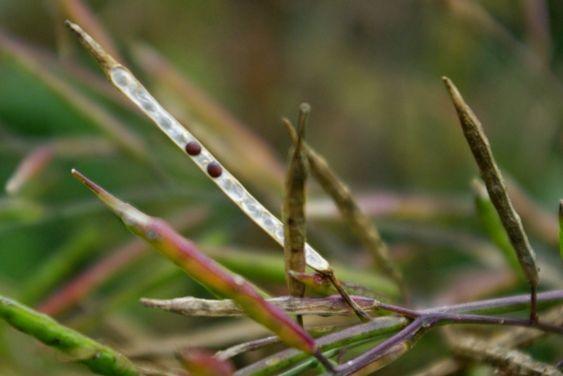 pflegeleichte gartenpflanzen gelber senf senf pflanze