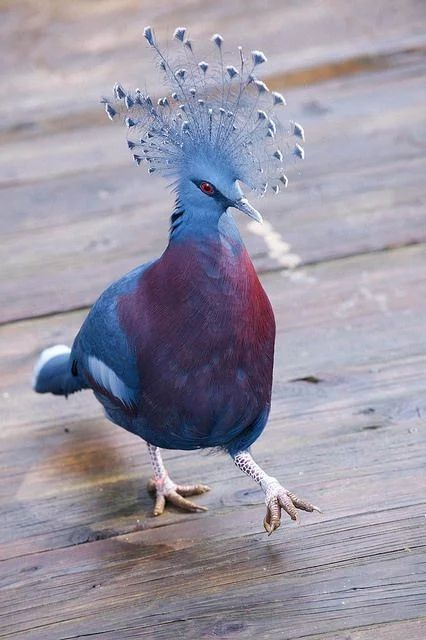 美しい鳥オウギバト