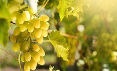 Weinreben für den Garten -  Weinreben am Haus haben in Weinbaugebieten Tradition. Doch auch für weniger günstige Lagen gibt es Sorten, die nur geringe Ansprüche an die Pflege stellen und im Herbst viele Trauben liefern. Neue Sorten gedeihen in fast jedem Garten.