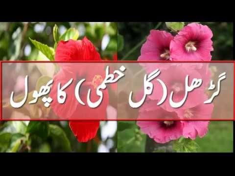 گڑھل گل خطمی کا پھول کے حیرت انگیز فوائد Gurhal Gul Gurahal K Tibi Tibi Herbal Tea Herbalism