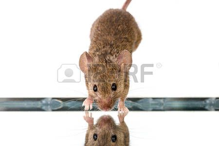 jumping down: Tin house mouse (Mus musculus) jumping down onto mirror Stock Photo