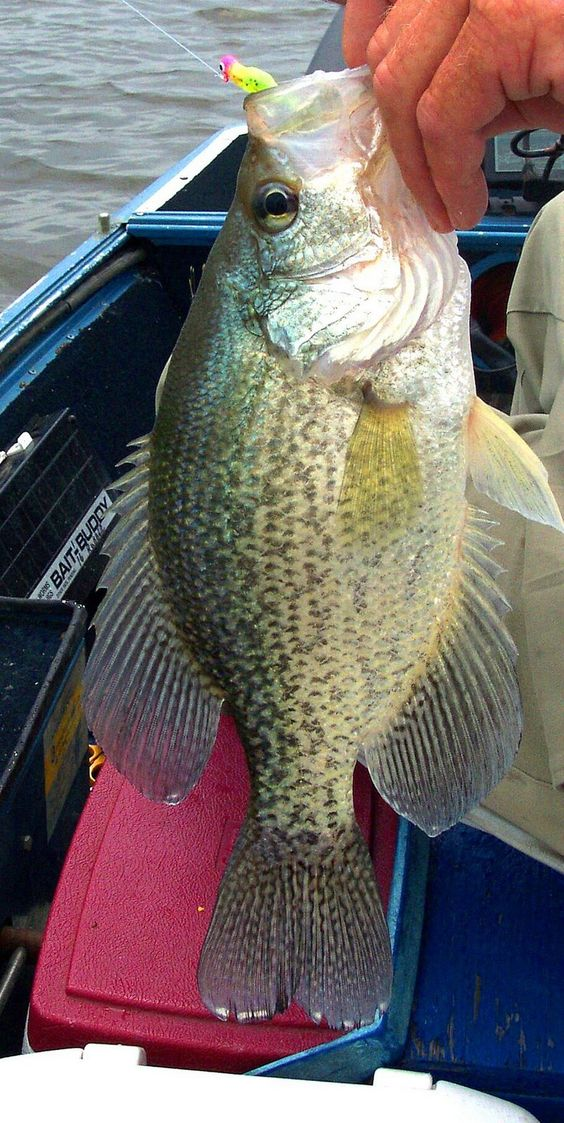 Pinterest the world s catalog of ideas for Crappie fishing at night