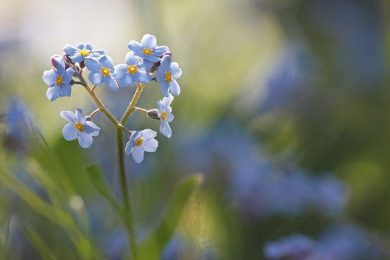 Kleine Blütenwunder Vergissmeinnicht
