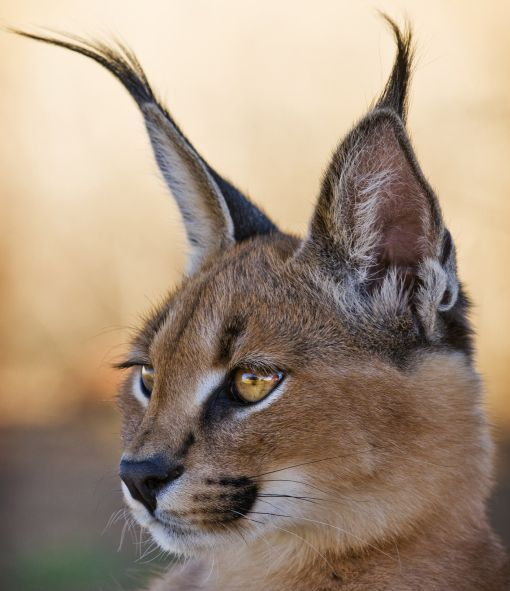 The Dessert Lynx A Caracal S Name Is Derived From The Turkish Word Karakulak Meaning Black Ear Wild Cats Cute Animals Caracal Cat