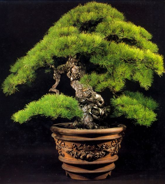 Kashima matsu – 360 anos – 135cm,Bonsais clássicos do Japão – 1 | Aido Bonsai
