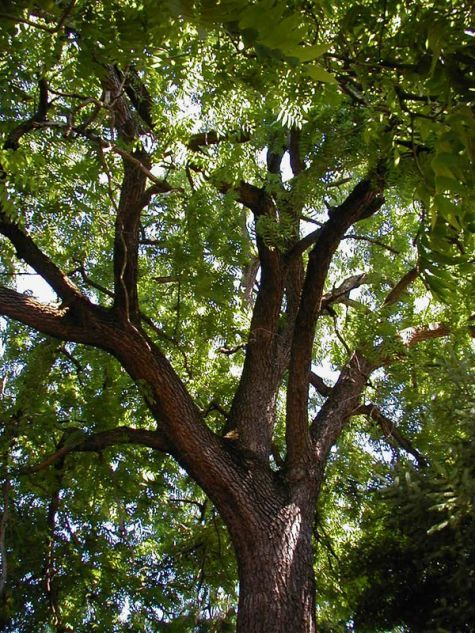 Fast-growing trees to avoid