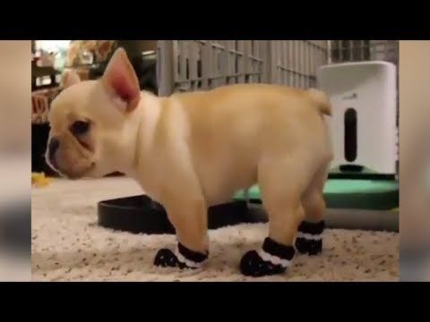 Funniest Cutest French Bulldog Puppies Videos Compilation 2017