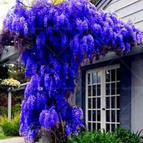 10 Seeds Pack Hot Sale New Blue Wisteria Tree Seeds Indoor Ornamental Plants Seeds Wisteria Flower Seeds Beautif Wisteria Tree Wisteria Bonsai Trees To Plant