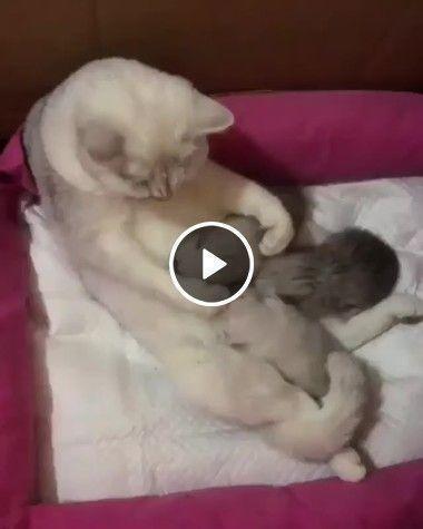 Gatinha tão cuidadosa com seus filhotes
