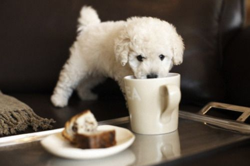 : Doggie, Puppy Drinking, Bichon Frise, Morning Coffee, Adorable Animal