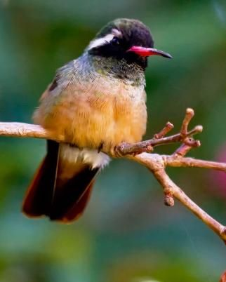 Xantus' Hummingbird (Basilinna xantusii),named after a Hungarian zoologist, is a Mexican hummingbird mostly found in Baja California. This species may occasionally stray to other parts of California & one stray bird was said to have been spotted in British Columbia.