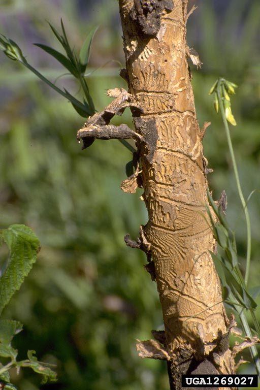 Ash Bark Beetle Bark Beetle Ash Bark Beetle