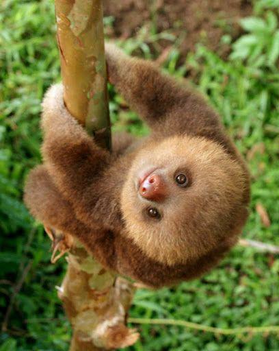 Baby sloth. So adorable!