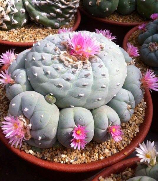 Kaktusi - Page 4 6646f4aa1d2ef055c850ea980bf506af