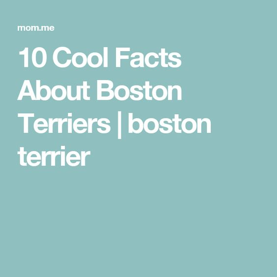 10 Cool Facts About Boston Terriers | boston terrier