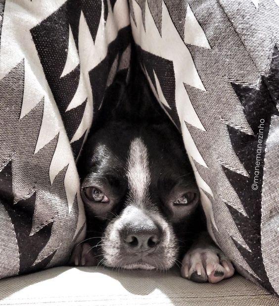 #camouflage #bostonterrier #escondido #amassadinho by manemanezinho