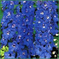 Larkspur :  They bloom twice a year if you cut back after the first wave of blooms.