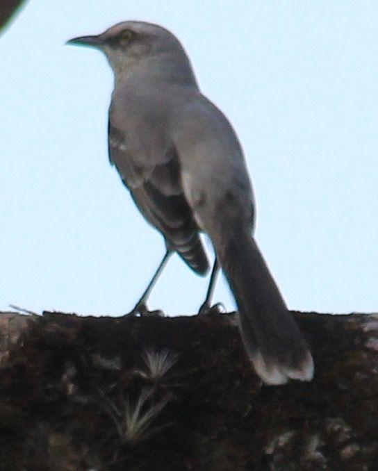 Tropical Mockingbird.