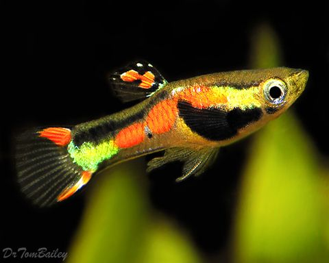 Endler 39 s livebearers beautiful little fish closely for Endler guppy