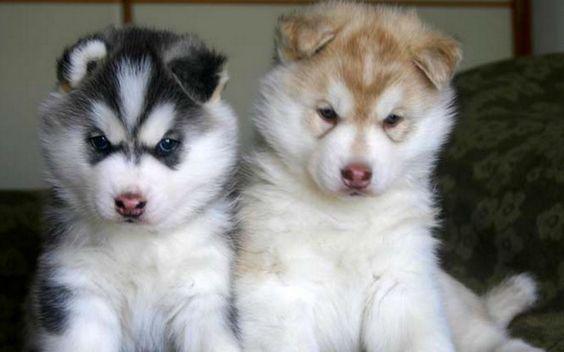 Husky like my puppyyy <3